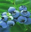 Blueberry Anthocyanin - 11