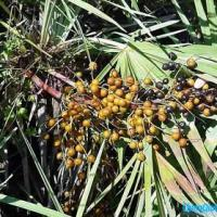 Large picture Saw Palmetto Extract