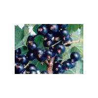 Large picture black currant anthocyanin